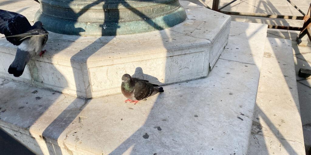 イタリアで撮影した鳩